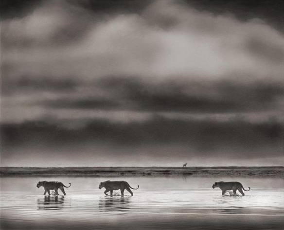Lionesses Crossing Lake, Ngorongoro Crater