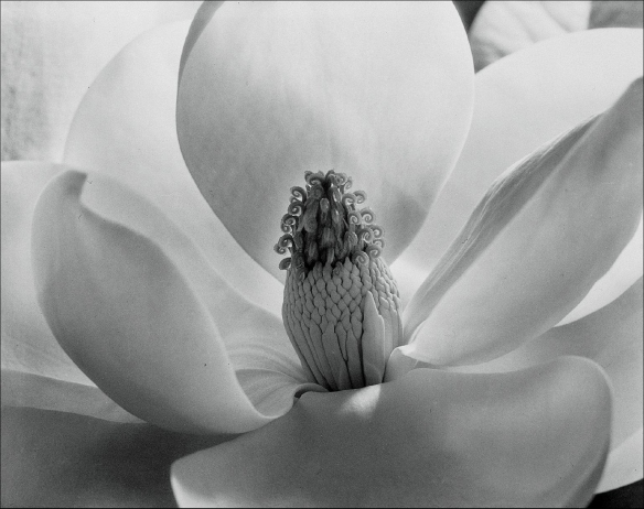 Photo by Imogen Cunningham: Magnolia Blossom (1925)