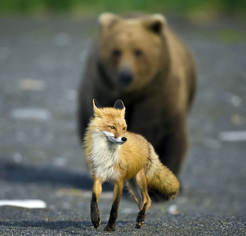 Fox and Bear