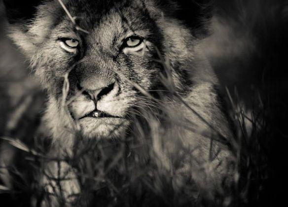 Lion by Gorazd Golob