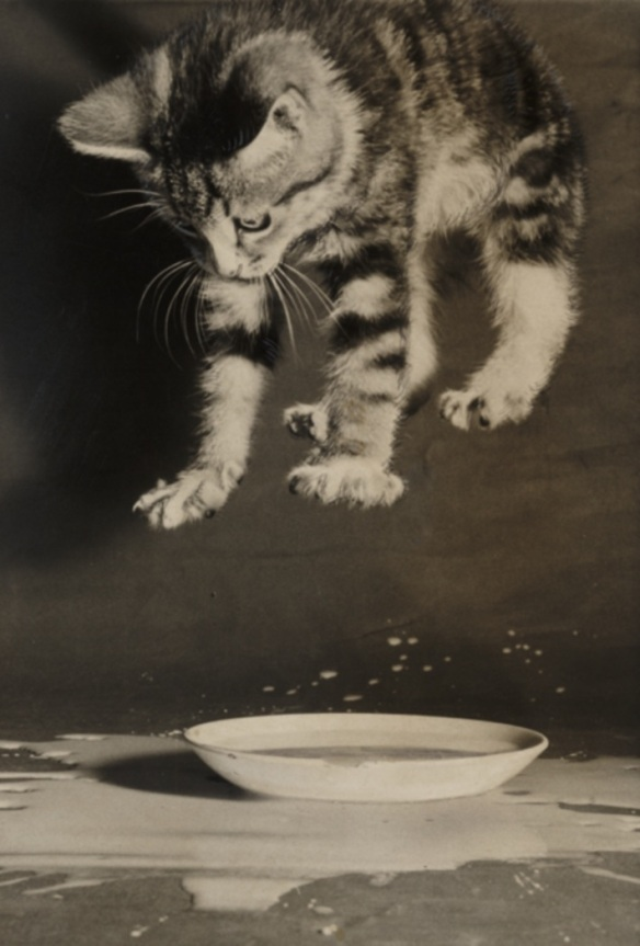 Kitten splashing in a bowl of milk