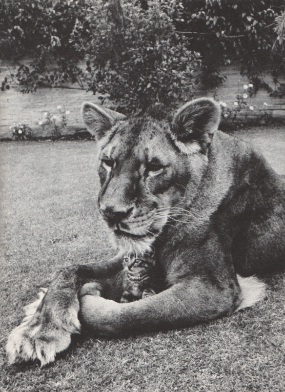 Photo by Ernest Reshovsky: Little Tyke is the name of this lioness, born in the zoo at Tacoma, Washington. Nursed for a broken leg, she became a rancher's house pet, enjoying perfume, flowers, her own bed, a diet of milk and cereal. She never touches meat - which may account for the complacency of her kitten friend.