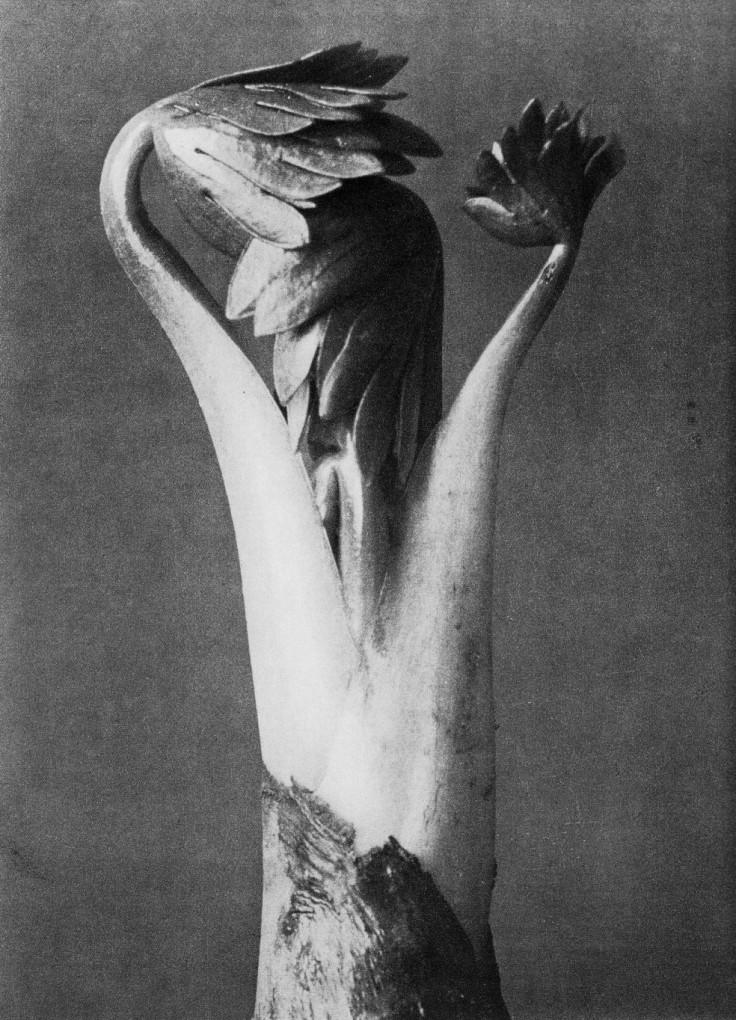Photo by Karl Blossfeldt: Monkshood, from Urformen der Kunst (1928)